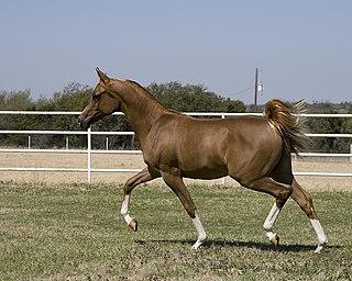 gait of a horse