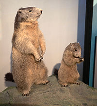 SMA PC 0 - Taxidermied Marmota marmota.jpg