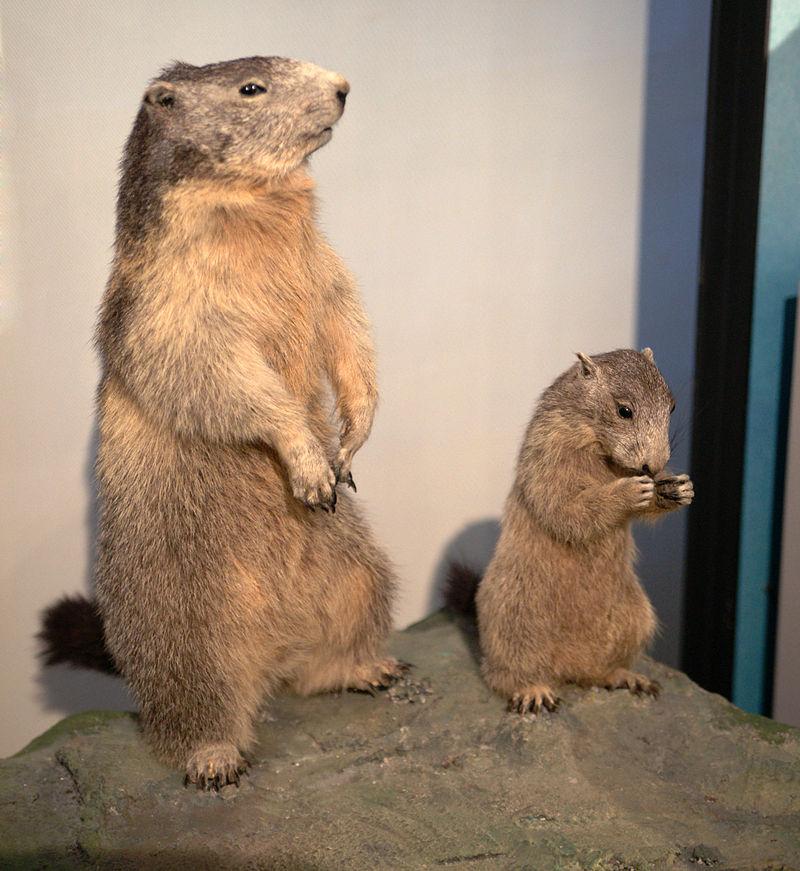 Zoo svet 800px-SMA_PC_0_-_Taxidermied_Marmota_marmota