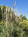 Saccharum ravennae - J. C. Raulston Arboretum - DSC06214.JPG