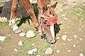 Saiful mulook horse 5.jpg