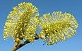 Salix Ива соцветия Весенние пушистики.jpg