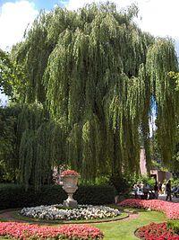 Salix alba11.jpg