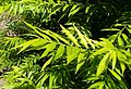 Salix sachalinensis 'Golden Sunshine' kz5.jpg