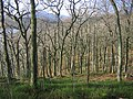 Sallochy Wood. - geograph.org.uk - 125877.jpg