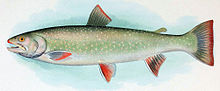 Colored drawing of adult female trout