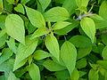 Salvia elegans 02.JPG