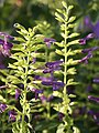 Salvia mexicana 'Limelight' (Scott Zona) 001.jpg