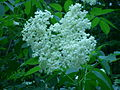 Sambucus canadensis, Fort Creek 2.JPG