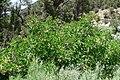 Sambucus mexicana 4.jpg