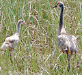 Sandhill crane and chick, NPSphotos (9101515023).jpg