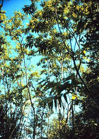 Sapindus marginatus shrubs