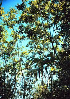 <i>Sapindus</i> Genus of flowering plants in the lychee family Sapindaceae