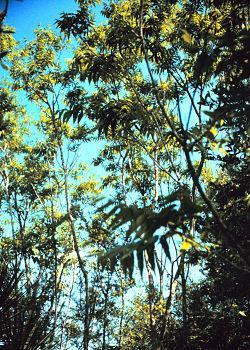 Sapindus marginatus.jpg