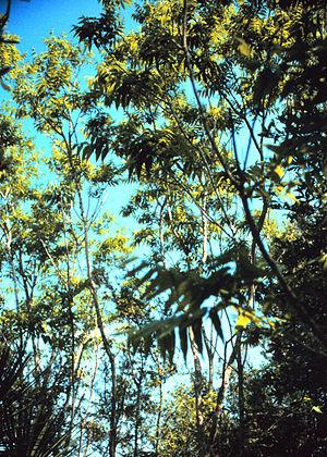Sapindus - Sapindus marginatus shrubs