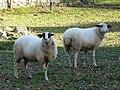 Sarliac moutons.JPG