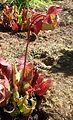 Sarracenia purpurea kz1.jpg