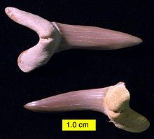 New Scapanorhynchus texanus stk - YouTube