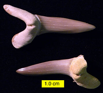 Shark tooth - Scapanorhynchus texanus, Menuha Formation (Upper Cretaceous), southern Palestine.