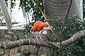 Scarlet Ibis (Eudocimus ruber) (2864613570).jpg