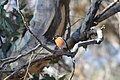 Scarlet robin on a branch, Dryandra Woodland, Western Australia.jpg