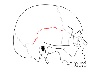 Squamosal suture - Side view of the cranium. Squamosal suture in red.