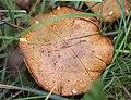 Schiermonnikoog - Koeienboleet (Suillus bovinus).jpg