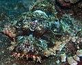 Scorpaenopsis oxycephala 15933710.jpg