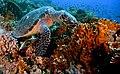 Sea Turtle. The Red Sea.Egypt.jpg