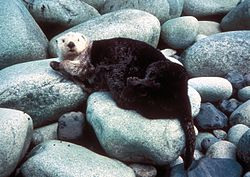 A sea otter's thick fur makes its body appear much plumper on land than in the water.