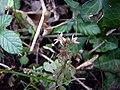 Sedum cepaea inflorescence (09).jpg
