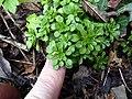 Sedum cepaea plant (06).jpg