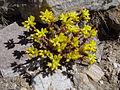 Sedum lanceolatum (Keck).jpg
