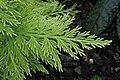 Selaginella pallescens var. aurea kz03.jpg