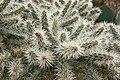Ses Salines - Botanicactus - Cylindropuntia tunicata 02 ies.jpg
