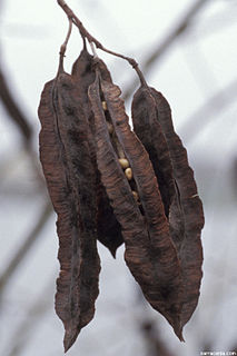 <i>Sesbania punicea</i> species of plant