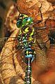 Shadow Darner - Aeshna umbrosa, Occoquan Bay National Wildlife Refuge, Woodbridge, Virginia - 29496394074.jpg