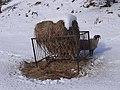Sheep and feeder - geograph.org.uk - 1158469.jpg