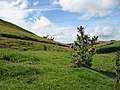 Sheep and thistle - geograph.org.uk - 515320.jpg