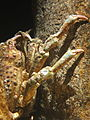Sheep crab (Loxorhynchus grandis) 01.jpg