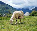 Sheep in Bovec 2.jpg