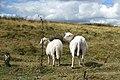 Sheep in Wales 3.jpg