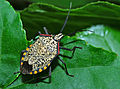 Shield Bug (Pentatomidae) (17966589572).jpg
