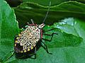 Shield Bug (Pentatomidae) (17966589572).jpg