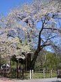 Shokawa zakura.jpg