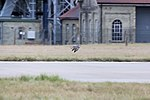 Shot 2 5 - Peregrine Falcon - RAF Mildenhall October 2009 (4026491039).jpg