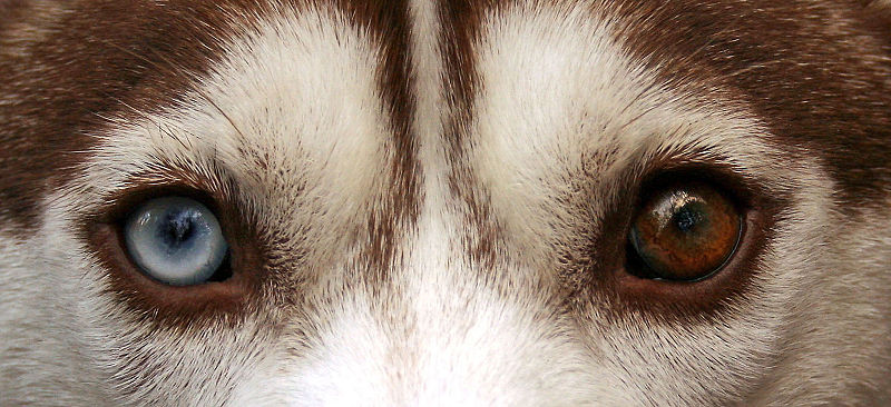 Ficheiro:Siberian Husky heterchromia edit.jpg
