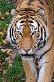 Siberian Tiger (38685447642).jpg