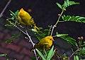 Sicalis flaveola (Canario coronado) - Flickr - Alejandro Bayer (6).jpg