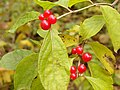 Simeria Dendrological park - red fruit - panoramio.jpg
